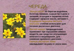 Лекарственное растение череда