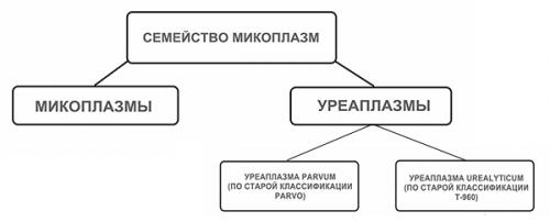 Семейство микоплазм