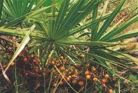 Ползучая пальма