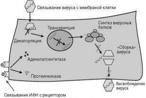 Противовирусное действие интерферона