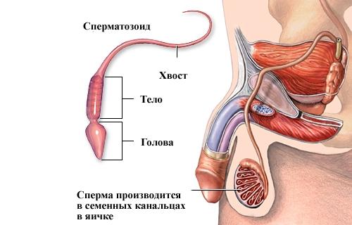 Формирование спермы в яичках