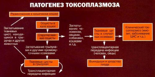 Патогенез токсоплазмоза