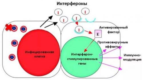 Действие интерферонов