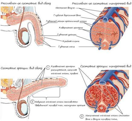 Приток крови к половому члену